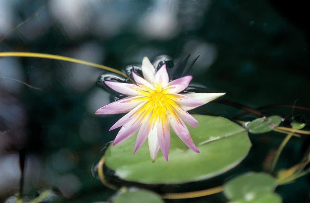 flores de loto para fiesta de quinceaño