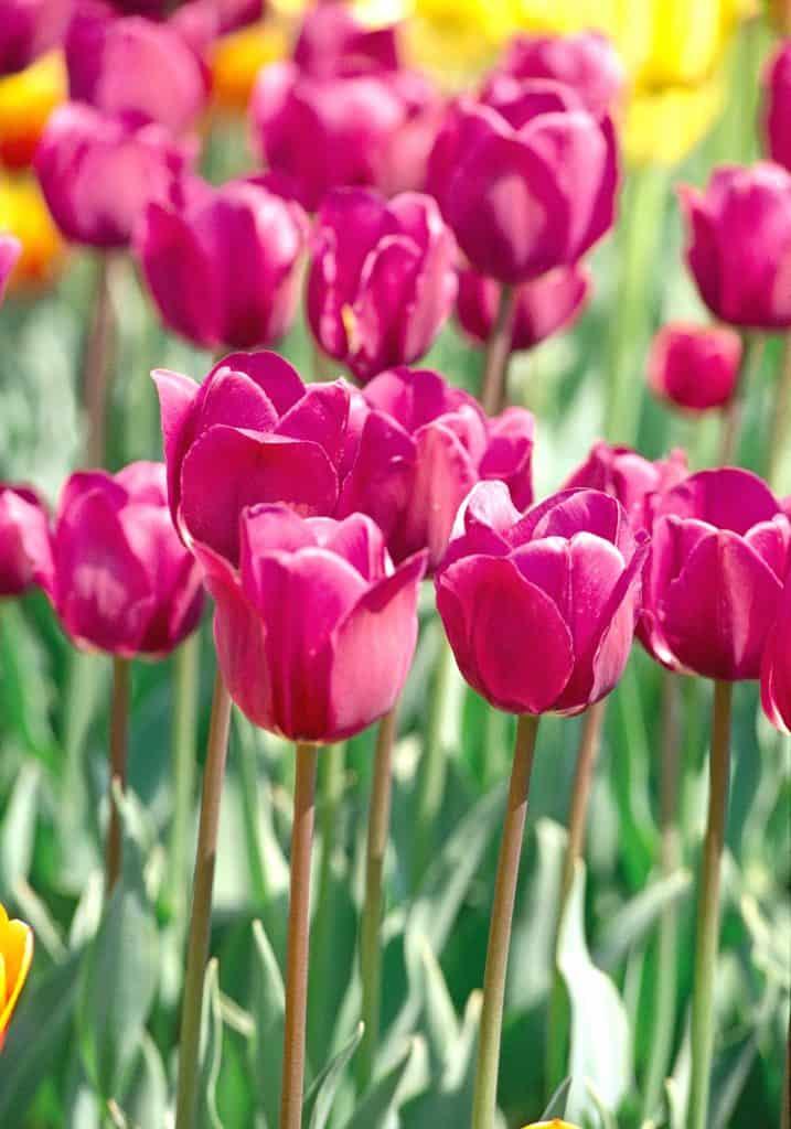 tulipanes en tus quince
